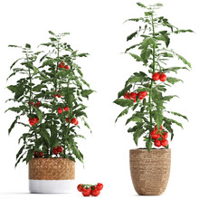 Decorative Tomato On A White B...