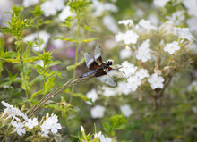 Widow Skimmer Dragonfly On A White Phlox