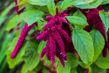 Amaranth Tailed. An Annual Dec...