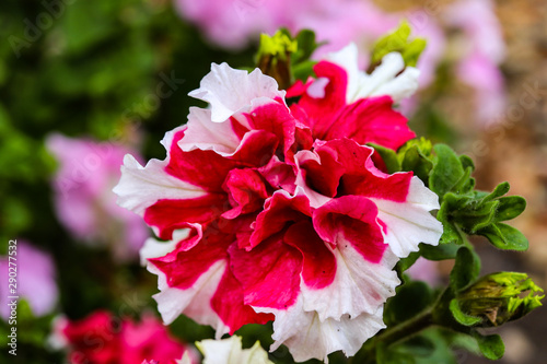 Slika na platnu large double terry petunia flower lush red-white with indented petals