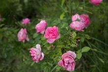 Sick Rose Bush, Damaged By Various Diseases And Pests