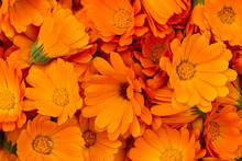 Orange Calendula Flowers. Brig...