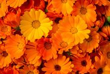 Calendula Flowers. Bright Natu...