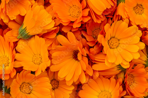 Obraz Orange calendula flowers. Bright natural background. The medicinal plant Calendula officinalis is commonly known as marigolds. - fototapety do salonu