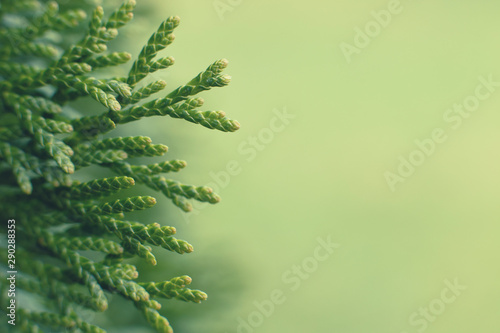 Carta da parati  a thuja close up. thuja branch background
