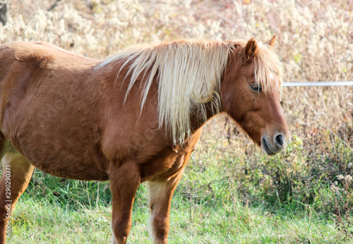 Pony mare in field