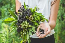 Girl Holds In Hands Clusters Fruit Black Elderberry In Garden (Sambucus Nigra). Elder, Black Elder.