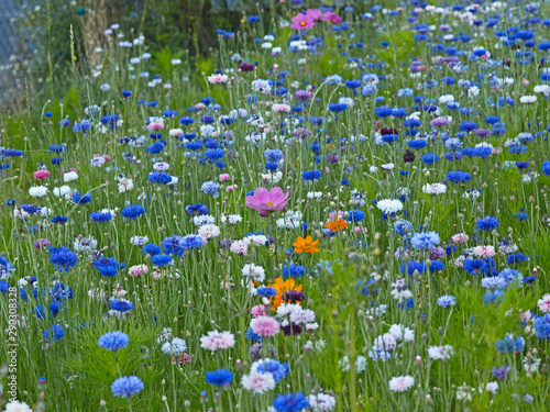 Centaurea cyanus Cornflowers and Cosmos growing in a colourful flower meadow