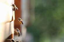 Close-up Of Honey Bees Carryin...
