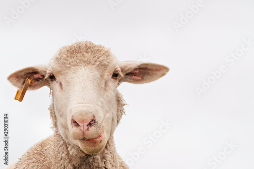 Fotobehang Schapen A white sheep, face only, chewing, looking at camera, isolated, against white background, copy space