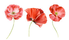 Set Of Bright Red Flowers. Poppies Are Painted In Watercolor. Watercolor Illustration.
