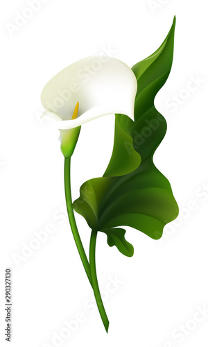 Photo Flower. Calla. Green leaves. White. Vector illustration.
