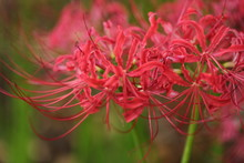 Spider Lily In The Lewis Ginte...