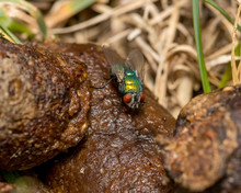 Green Bottle Fly, Blow Fly, Ea...