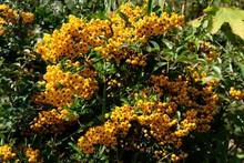Bush With Yellow Fruits Of Pla...
