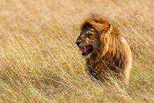 Lion, Africa, Masai Mara, Kenya,