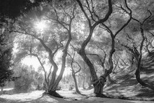 Olive Grove, Black And White A...