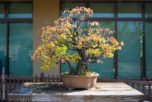 Montage in der Fensternische Bonsai Japanese Apricot bonsai tree in Omiya bonsai village at Saitama, Japan