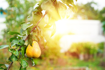 Ripe pear growing at the orchard, nobody