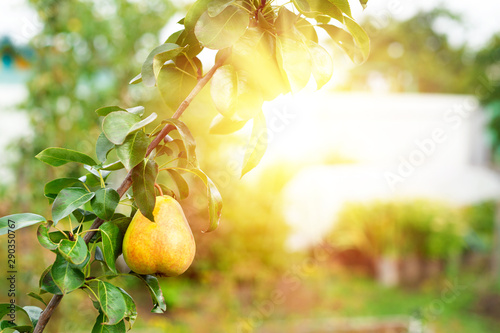 Garden Poster Garden Ripe pear growing at the orchard, nobody