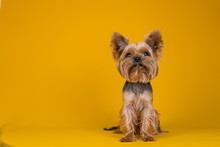 Yorkshire Terrier Dog On A Yellow Background