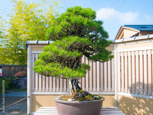 Photo sur Aluminium Bonsai Japanese Black pine bonsai tree in Omiya bonsai village at Saitama, Japan