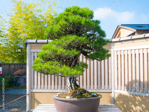 Poster Bonsai Japanese Black pine bonsai tree in Omiya bonsai village at Saitama, Japan