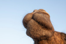 Close Up View Of The Face Of Camel At Outdoors