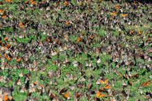 Meadow Of Butterflies