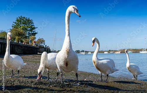 Large White Mute Swans of Hullbridge and Woodham Ferrers Battlebridge Basin on t Canvas Print