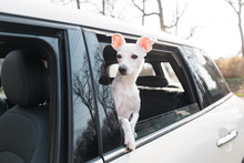 Little White Dog Going For A R...