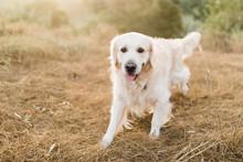 Golden Retriever Walking Alone In Paddock