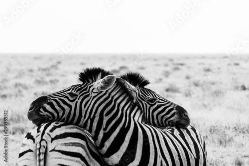 Fotografía Cuddling zebras of namibia in etosha