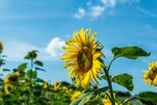 A Single Sunflower Against The Blue Sky. Standing Tall. Powerful Concept. Österlen, Sweden.