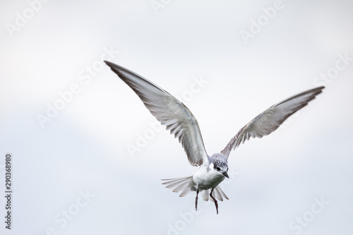 Fotobehang Vogel Whiskered tern in flight on cloudy day with spread wings artistic conversion