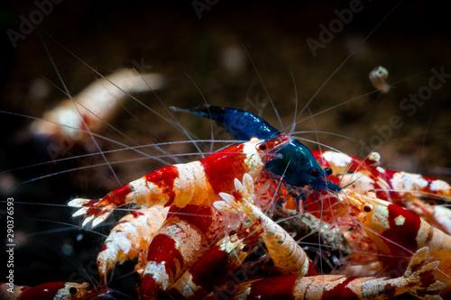 Fototapeta Crystal red shrimp swarm eat aquarium pets hobby nature wild life obraz na płótnie