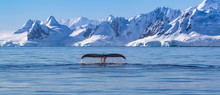 Humpback Whale Tail In Antarctica