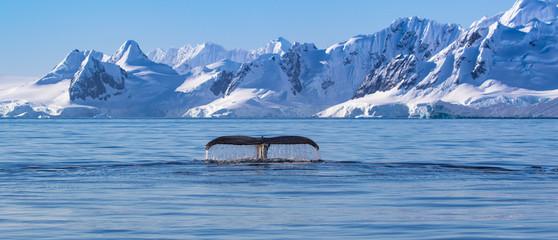 Rep grbavog kita na Antarktiku