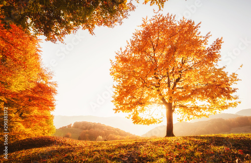 Wall mural - Awesome image of the autumn beech tree.