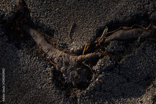 Strong tree root breaking through the pavement Fototapet