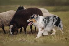 Aussie Dog Herding Sheep