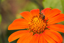African Honey Bee On A Red Sun...