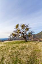 Old Oak Tree Standing  In A Fi...