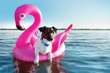 Jack Russel Dog Swimming On The Rubber Pink Flamingo