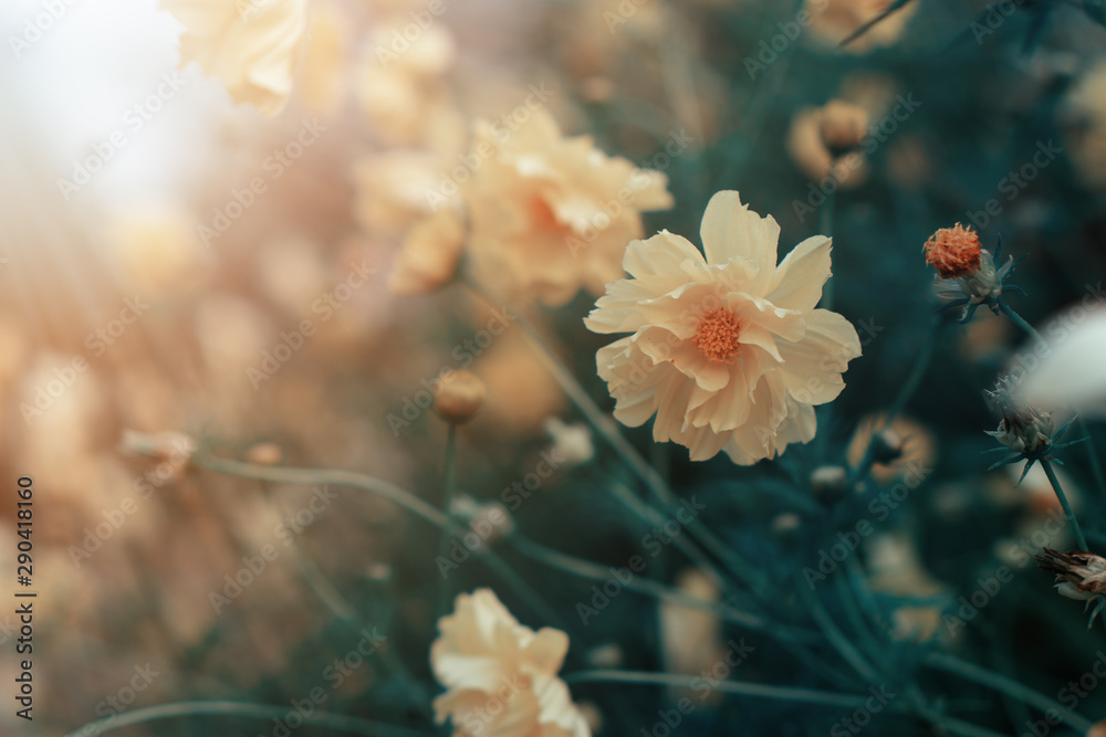 Fototapety, obrazy: natural background of daisy field with sunlight