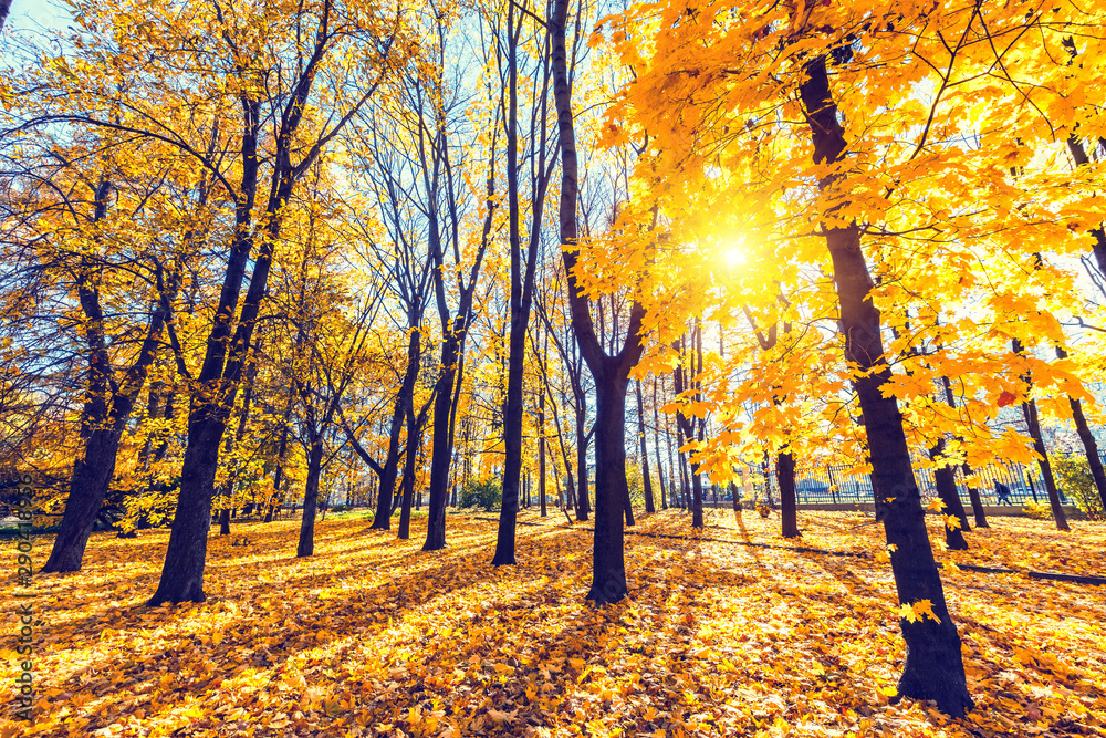 Fototapety, obrazy: Sunny autumn landscape with golden trees and blue sky in a city park