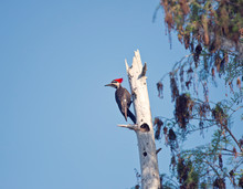 Pileated Woodpecker In Florida...