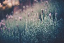 Field Of Lavender With Sunlight, Lavandula Angustifolia; Vintage Style
