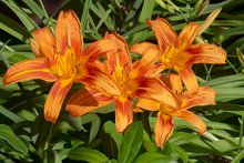 Orange Day Lilies Painting Still Life