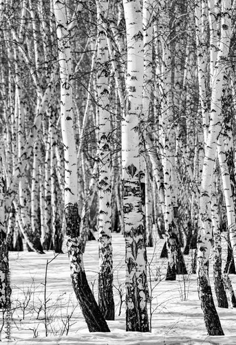 Papiers peints Bosquet de bouleaux Snowy birch forest landscape, black and white photo.